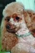 SWAROVSKI ogrlica za psa 4Tiny Crystal Pastel